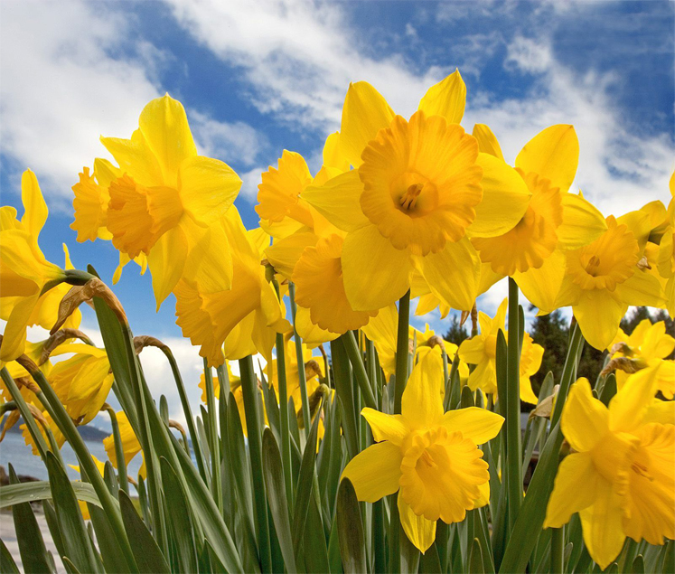 Public Urged To Support Daffodil Day